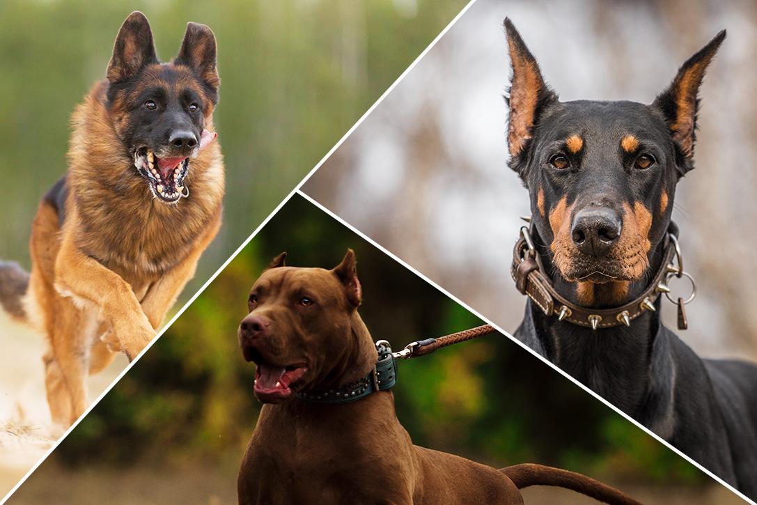 Mutable Protection Hiconsumption Dog Breeds Medium Sized Uk Dog Breeds That Don T Shed Guard Dog Breeds bark post Calm Dog Breeds
