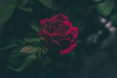 Blood-Red Rose iPhone Wallpaper - iDrop News