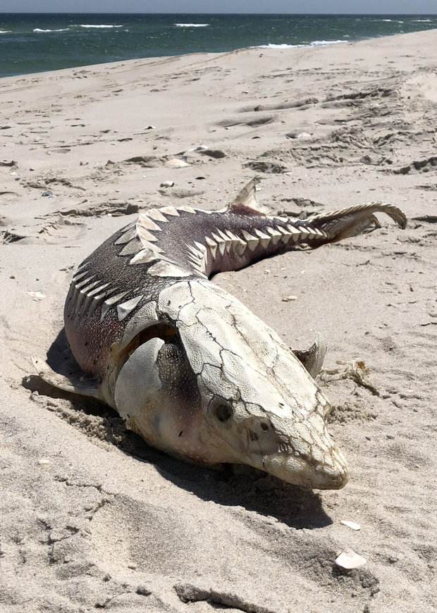 Dinosaur news  Sturgeon washes up on beach in Island Beach State     dinosaur sturgeon beach