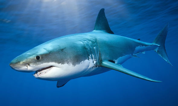 Surfer seriously injured after punching great white shark during     A great white shark swimming in the blue ocean