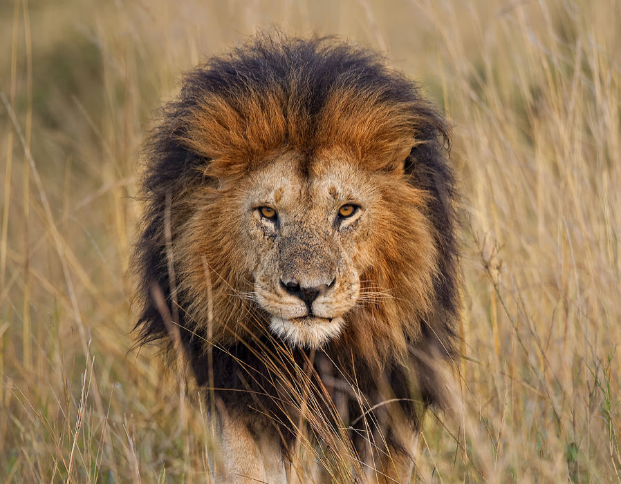 Facts about lions   Pictures   Pics   Express co uk World Lion Day