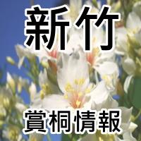 【賞桐趣】新竹油桐花季節_sp