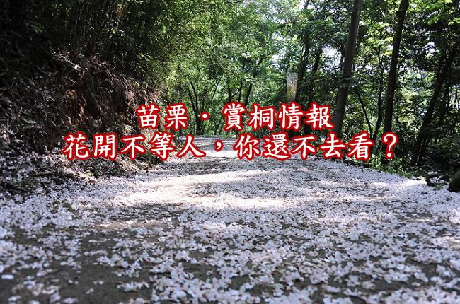 【賞桐趣】苗栗油桐花季節時間、推薦觀賞景點1