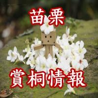苗栗油桐花5
