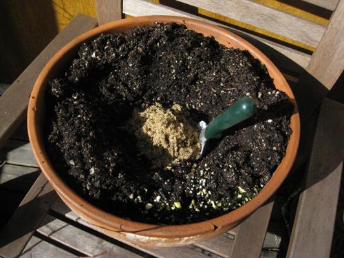 asparaguscrown2.JPG