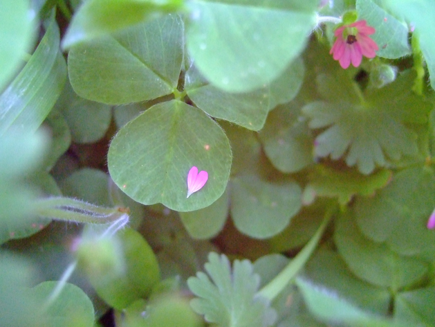 tinygeraniumheartpetals2.jpg