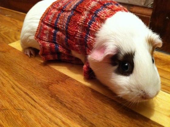 cute_overload_guinea_pig_sweaters2.jpg