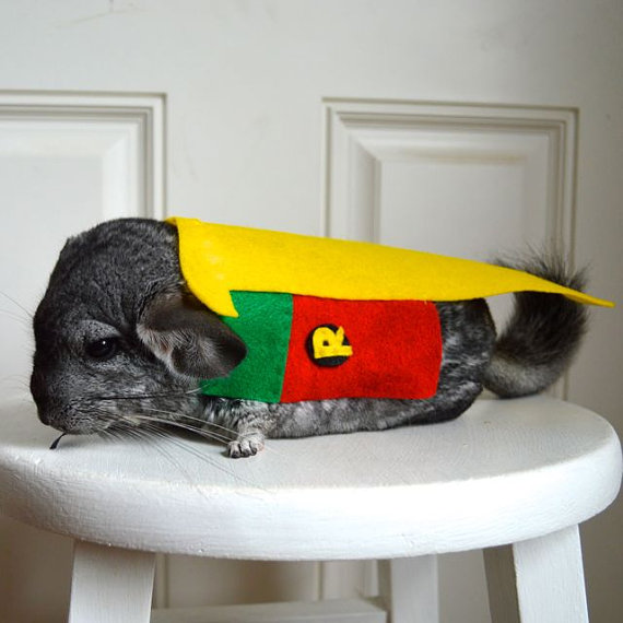 chinchilla-robin1