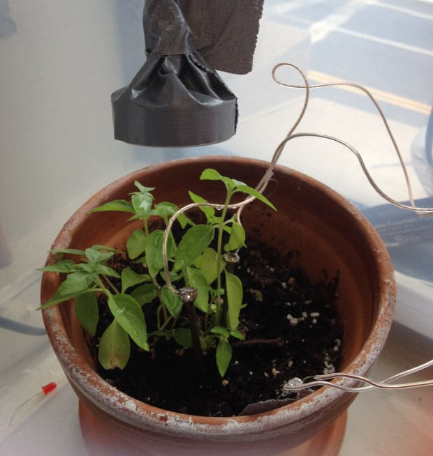​This is my basil plant up close; you can see the galvanized nails and the photocell.