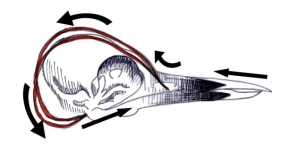 Directional influence of forces exerted by the hyoid bone. Illustrator and copyright holder: Allison Miller.