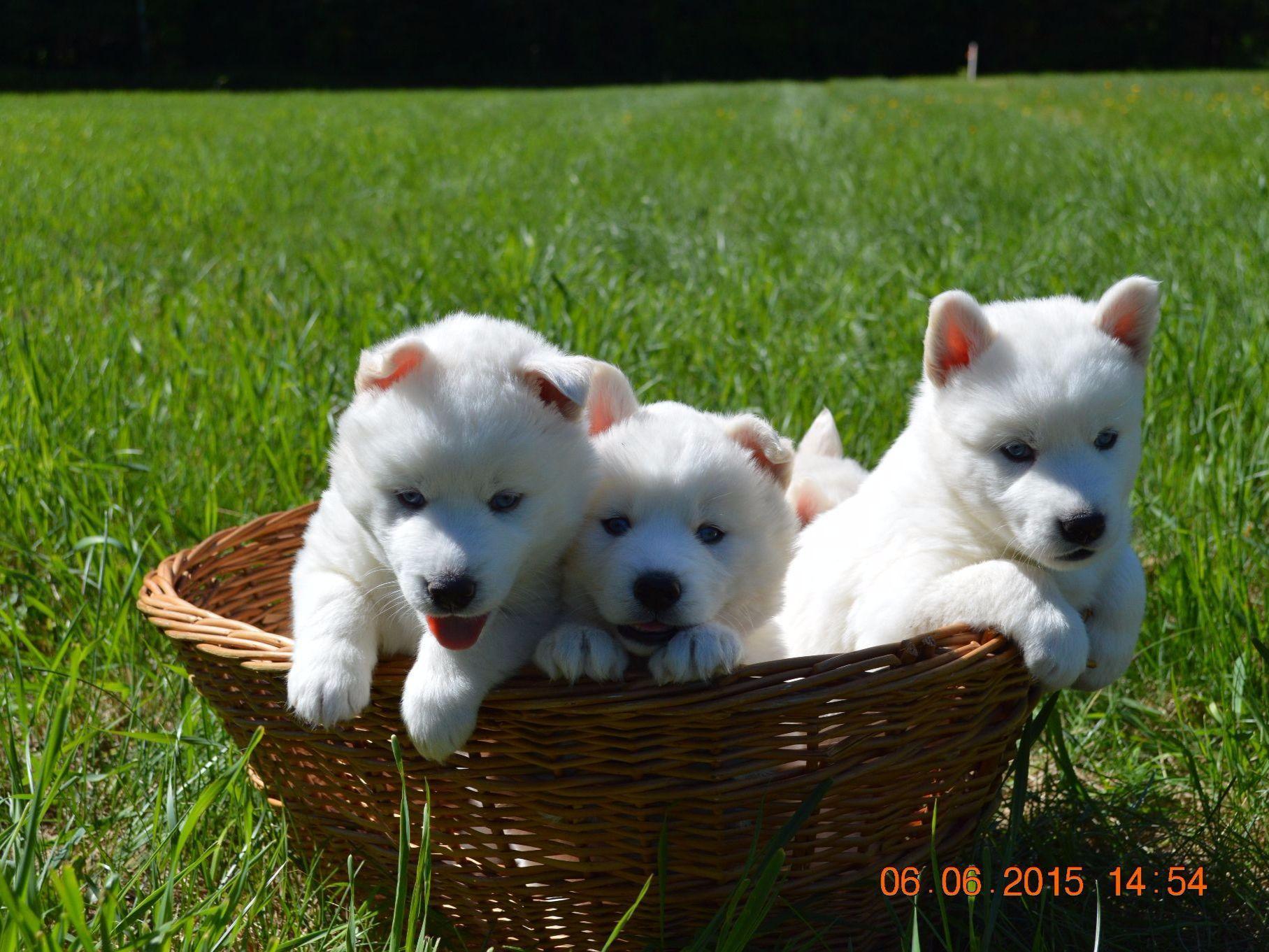 Dashing Sale Husky Malamute Mix Brown Husky Malamute Mix Adoption Snow Wooly Husky Puppies bark post Malamute Husky Mix