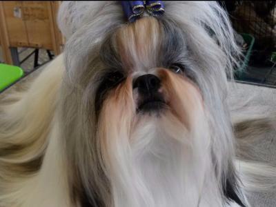 Shih Tzu For Sale by Jill Ryan MIRALAN SHIH TZU - American Kennel Club