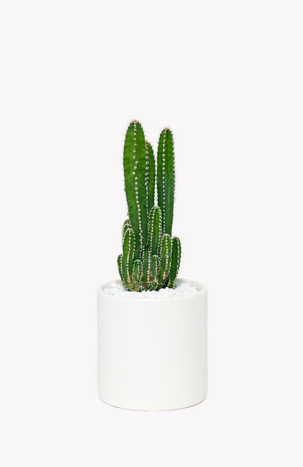 Fullsize Of Fairy Castle Cactus