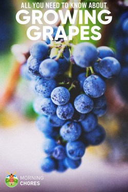 Deluxe Beginners Guide On How To Grow Grapes Successfully Will Kens Eat Grapes Can Kens Eat Grape Vine Leaves