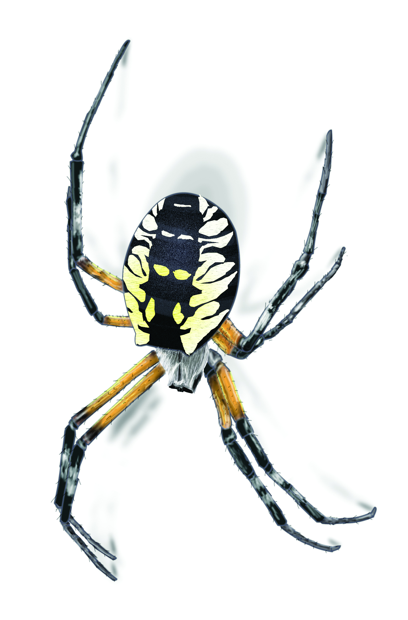Dark Garden Spiders Garden Spider Facts Get Rid Garden Spiders Do House Spiders Poop Ok Google Do Spiders Poop houzz-03 Do Spiders Poop