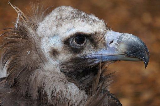 Akbaba, Kafa, Kuş Yırtıcı