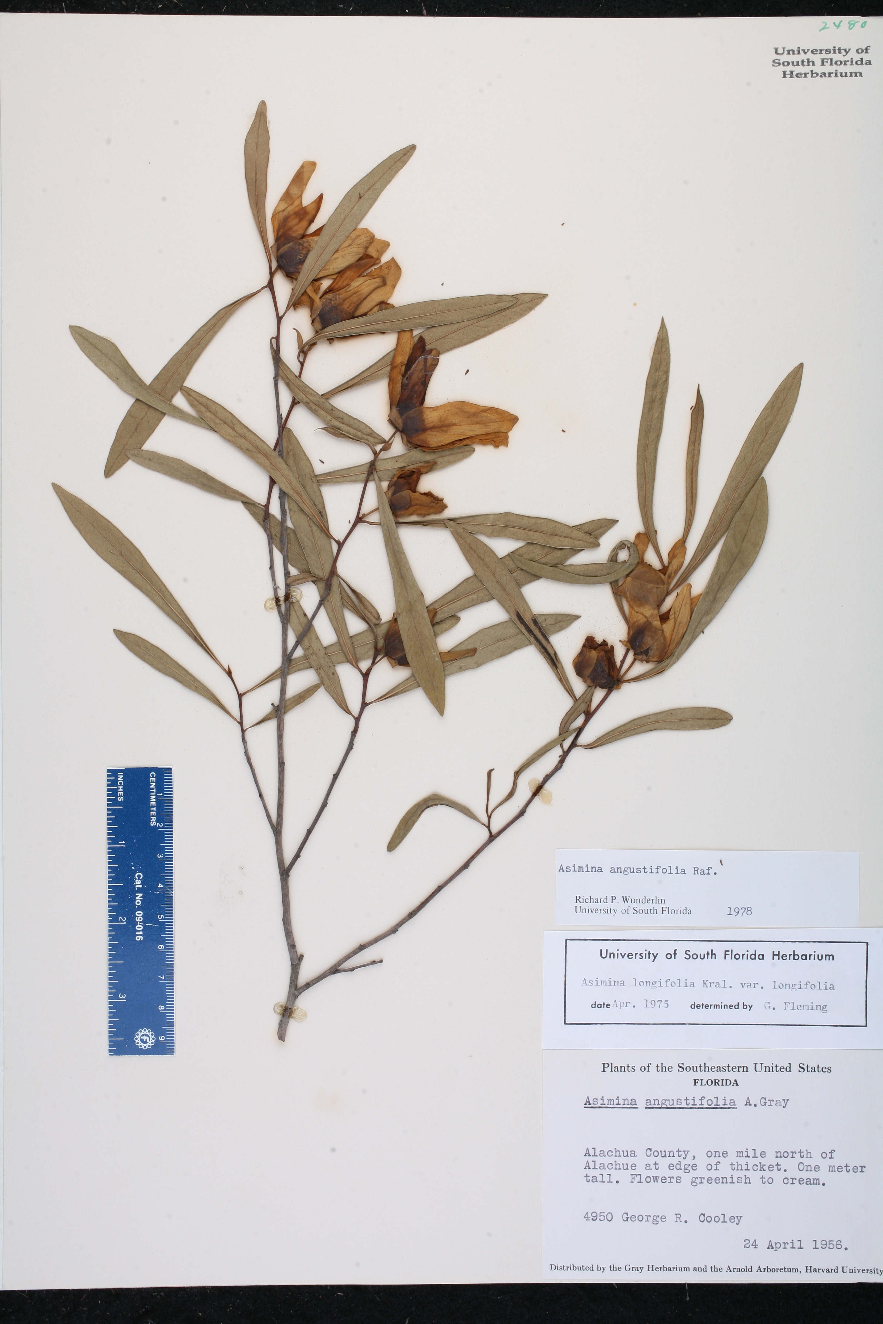 Asimina angustifolia   Species Page   ISB  Atlas of Florida Plants USA