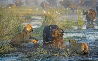 Ultimate Protector: Male Buffalo Kills Lion to Defend Mother & Calf