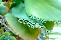 Small Of Mother Of Thousands