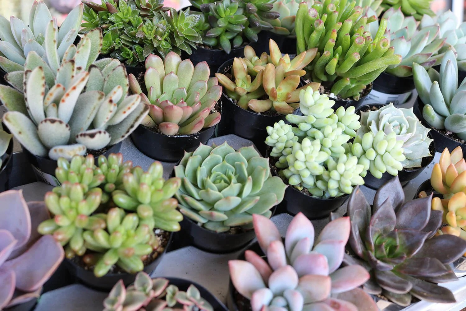 assorted succulent gifts wedding favors succulent wedding favors 2 5 Assorted Succulents bulk wholesale succulent prices at the succulent source 2