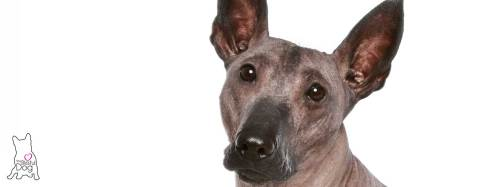 Medium Of Hairless Dog Breeds