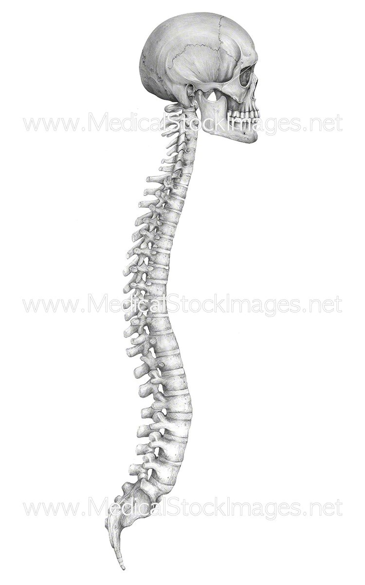 Fullsize Of Picture Of Spine
