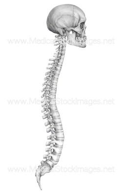 Sterling Organs Pencil Skull Spine Skull Pencil Medical Stock Images Company Spine Spine Spine Vertebrae