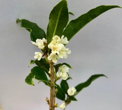 Medium Of Fragrant Tea Olive