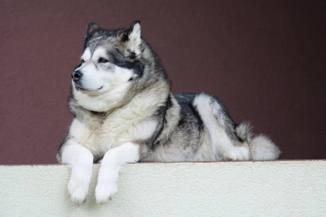 Fullsize Of Wolf Like Dogs