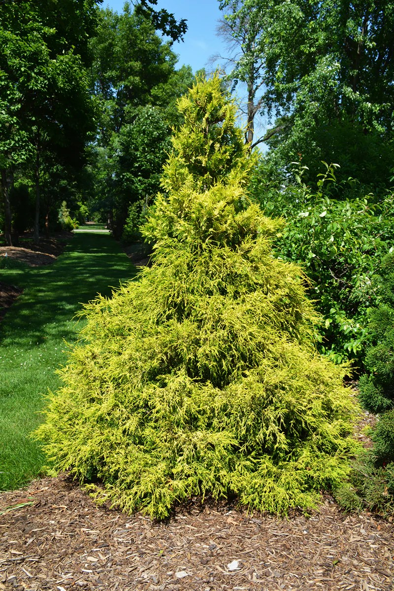 Large Of Gold Mop Cypress