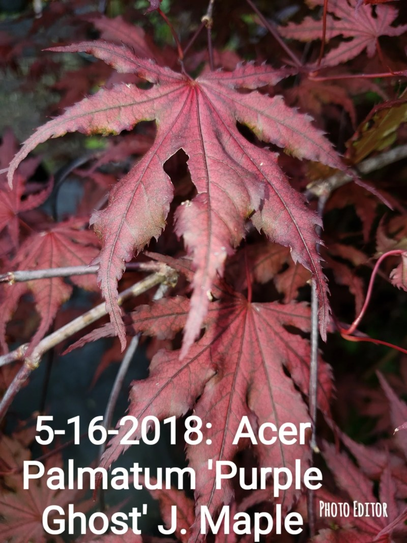 Large Of Purple Ghost Japanese Maple