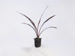 Majestic Wholesale Plants Sunshine Horticulture Cordyline Red Star Winter Care Cordyline Red Star Size Cordyline Cordyline Red Star