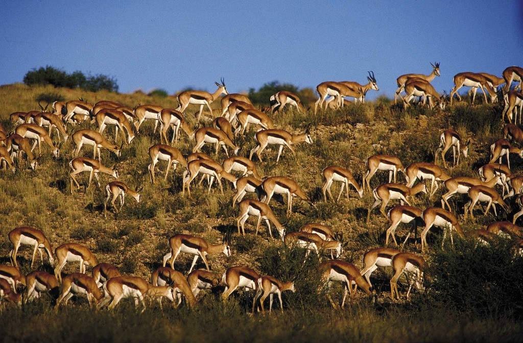 A herd of Springbok © South African Tourism / Flickr