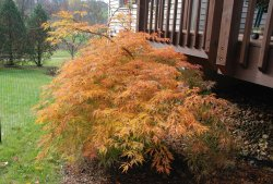 Small Of Sun Valley Maple