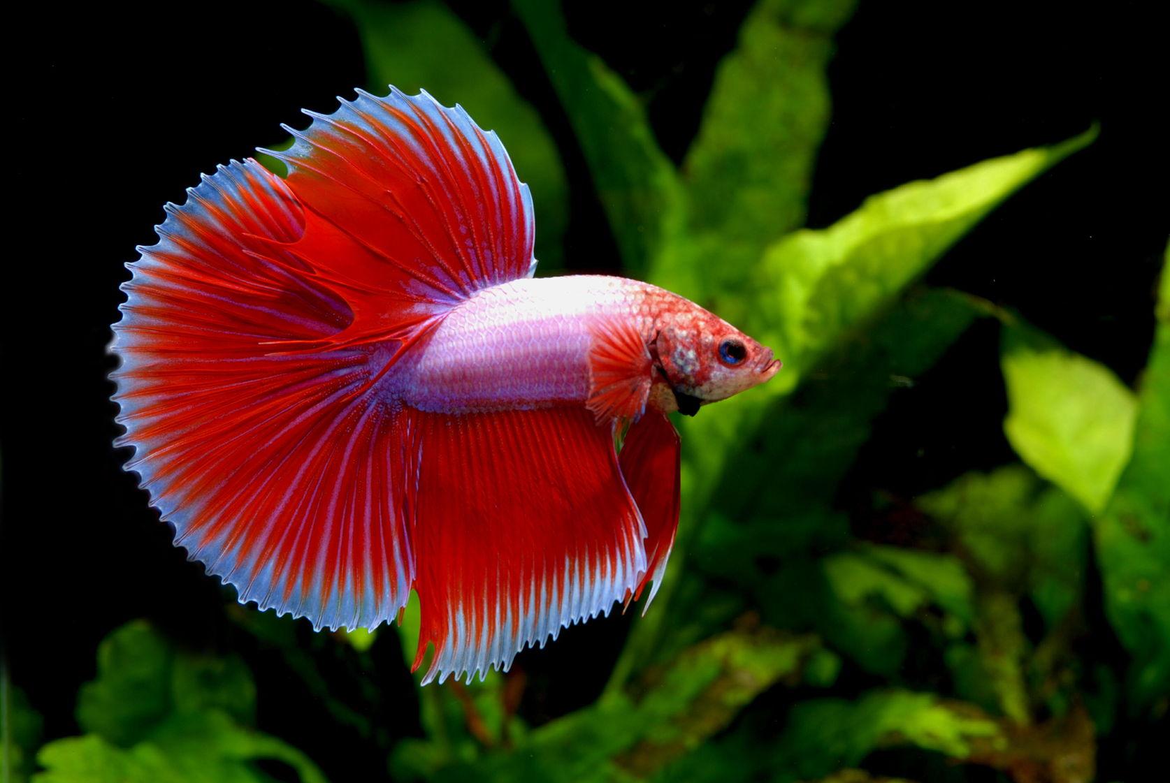 Fullsize Of Betta Fish Lifespan