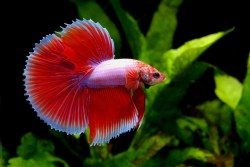Small Of Betta Fish Lifespan