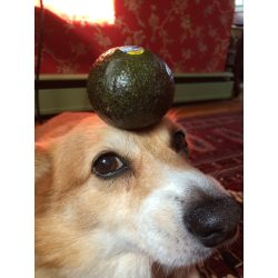 Small Crop Of Are Avocados Good For Dogs