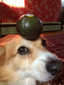Small Of Are Avocados Good For Dogs