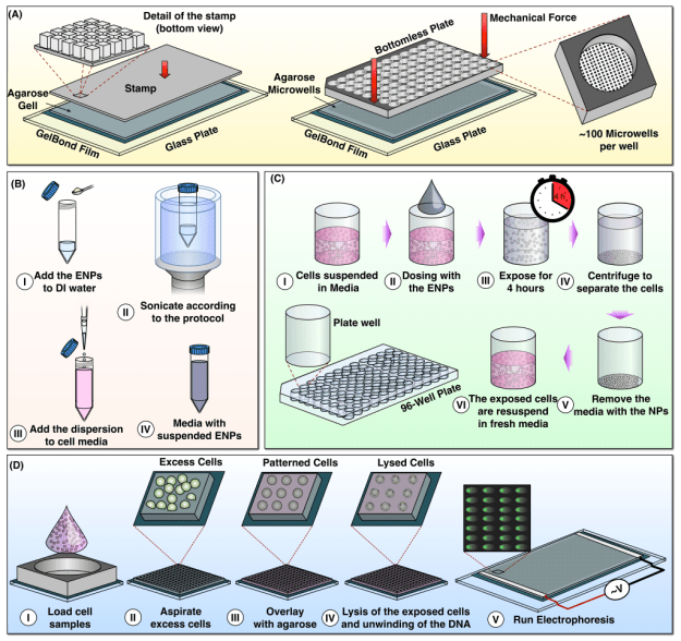 Protocol for the high throughput Comet Assay. (A) Assembly of macrowell comet array. Agarose gel with microwells is sandwiched between a glass substrate and a bottomless 96-well plate and sealed with mechanical force. Approximately 300 arrayed microwells comprise the bottom of each macrowell. (B) Preparation of the nanoparticle suspension according to the protocol by Cohen at al. (C) Protocol for exposing the cells to the nanoparticles. (D) Loading of the exposed cell samples in the macrowells and running the microwell assay.
