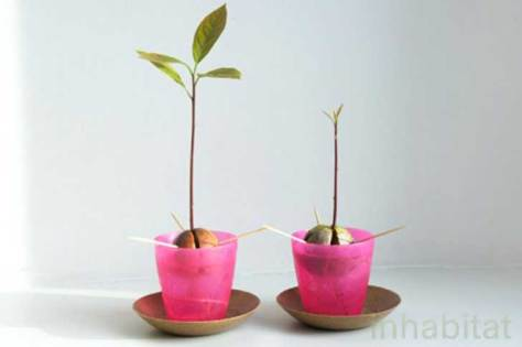 Sprouted-Avocado-Pits-537x357