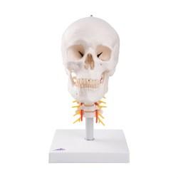 Trendy Human Skull Model On Cervical Part Organs Spine L5 S1 Spine