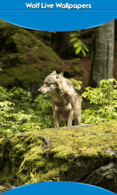 Wolf Live Wallpapers | Download APK for Android - Aptoide