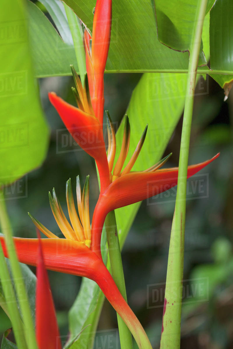 Fullsize Of Orange Bird Of Paradise