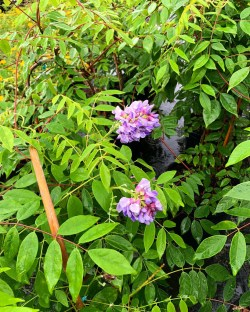 Small Of Amethyst Falls Wisteria