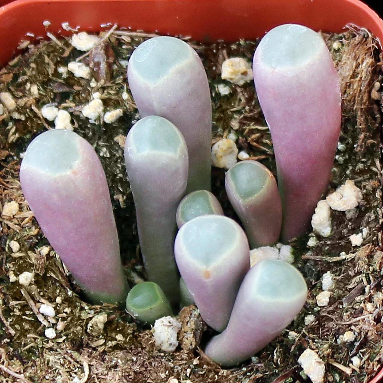 Fullsize Of Baby Toes Succulent