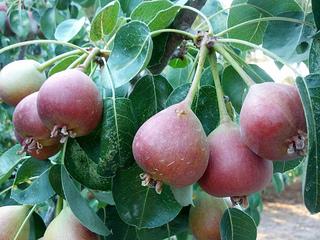 peras de san juan_ Herbolario Allium