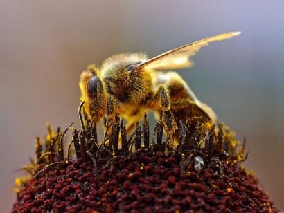 Polen de abeja