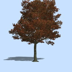 Small Of Blue Maple Tree