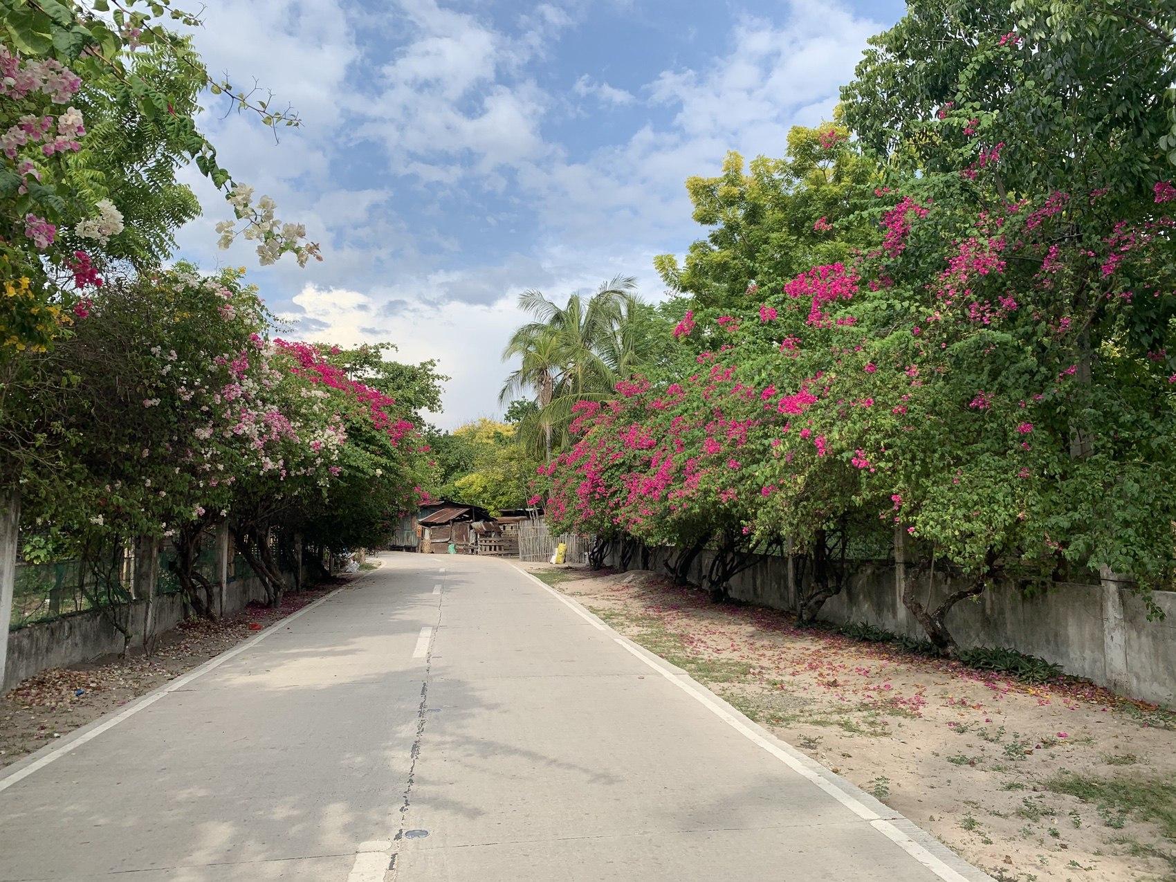 ブーゲンビリアが咲き乱れる村道