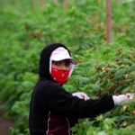 Raspberry Workers in Oxnard